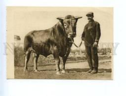 162308 VSKhV 1939 Bull Fordzon CHAMPION Breed Vintage PHOTO PC - Stiere