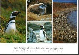 CHILI :  Les Manchots De L'île Magdalena - Cile