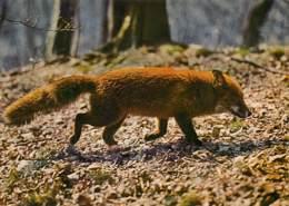 RENARD Canis Vulpes Fox Fuchs  48 (scan Recto-verso)MA2270Bis - Autres