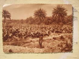 Kindia Plantation De Bananes - Frans Guinee