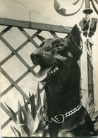 BLACK DOG PERRO NEGRO RAZA RACE DOBERMAN ANIMAL- LILHU - Postkaarten