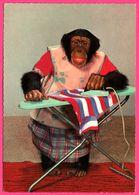 Cp Dentelée - Monkey - Maman Singe Qui Repasse - COLOR - ISV - Monos