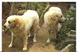 ~ JP  ~  CHIENTS   Des  PYRENEES    ~ - Cani