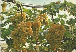 Canicattì, Uva, Vite, Vino.  16.11.1982, Sagra Dell'uva Italia. - Vigne