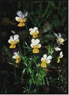 Ackerveilchen / Heilpflanze  -  DJH / Deutsche Jugend Herberge  -  Ansichtskarte Ca. 1982    (9098) - Plantes Médicinales