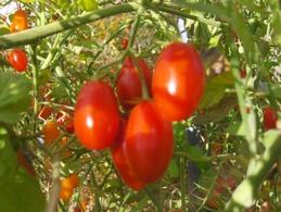 30 Graines Tomates Cocktail COEUR DE PIGEON ROUGE BIO - 2. Graines