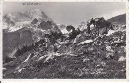 PAYSAGE A AROLLA - LES MULETS DE LA POSTE - 1954 - VS Valais