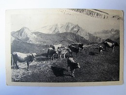 ANIMAUX - Vaches - 1916 - Mucche