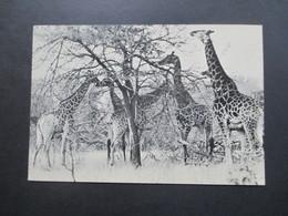 Echtfoto AK 1961 Giraffen Kruger National Park Süd Afrika / South Africa - Girafes