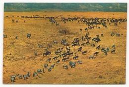 ZEBRA AND WILDEBEESTE HERDS IN NGORONGORO CRATER - Zèbres