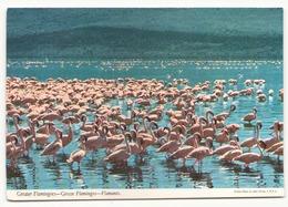 GREATER FLAMINGOES - Pájaros