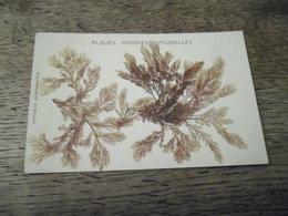 Carte Postale Ancienne Algues Marines Naturelles (Belle Ile En Mer, Petitjean) N°2 - Belle Ile En Mer