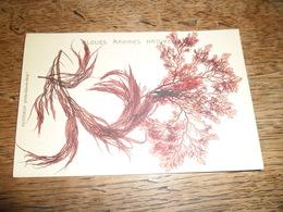Carte Postale Ancienne Algues Marines Naturelles (Belle Ile En Mer, Petitjean) N°3 - Belle Ile En Mer