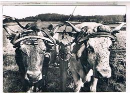 PAYSANS    BOEUFS     CPM   TBE  ME64 - Farmers