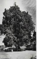 AK 0047  Rasing Bei Mariazell - 1000 Jährige Linde / Verlag Kuss Um 1950-60 - Mariazell