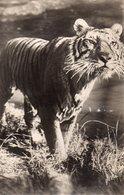 CP D ' Un Tigre - Tigres