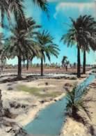 Kuwait - Palm Trees At Jehra - Koweït