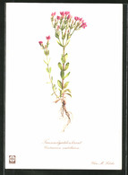 Künstler-AK Tausendgüldenkraut, Centaurium Umbellatum - Botanik