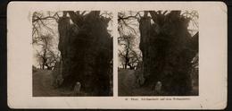 Stereoview Photographs / Stereoview Card / Germany / Tirol / Edelkastanie Auf Dem Wissplatter / A.G. Steglitz / 1907 - Visionneuses Stéréoscopiques
