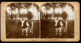 Stereoview Photographs / Stereoview Card / Nederland / Une Vue De Hollande / American Stereoscopes & Stereoscopie / Koe - Visionneuses Stéréoscopiques