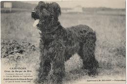 CHIEN CAMPECHE BERGER DE BRIE - Dogs