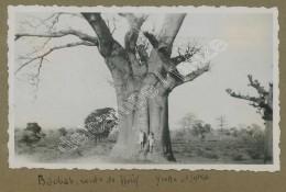 Sénégal . Un Baobab . Arbre Remarquable . - Africa