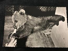 """""""Nikki"""" The Russian Bear Bébé Ours Buvant De La Bière London Zoo 1956 Real Photo - Bears"""