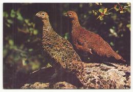 ISLANDIC PTARMIGAN - Pájaros
