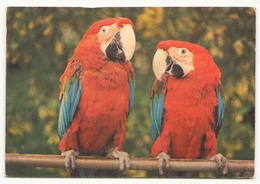 ARA CHLOROPTERES - Pájaros