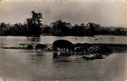 Hippopotames Au Bain (Afrique) - Hippopotames
