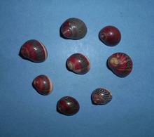 8  Nerita Vittina Waigiensis  Philippines - Seashells & Snail-shells