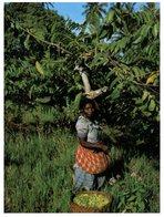 (M+S 301) France Territory Of Comores Islands - Picking Ylang Ylang - Comoros