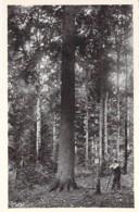 ARBRE Tree - 26 - FORET De LENTE : Le Sapin Bronzé - CPSM Dentelée N/B Format CPA - Drôme /  Bome Boom Albero árbol - Bäume