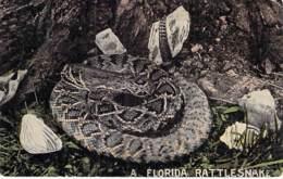 ** USA Etats-Unis ( FL FLORIDA ) RATTLESNAKE - Serpent à Sonnette - CPSM Format CPA - North America Amerique Nord - Etats-Unis