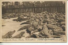 (ORL 719) Very Old Postcard - Germany - Berlin Zoo Crocodiles - Animals