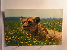 Animaux - Lionne Au Repos - Lions