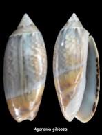 Agaronia Gibbosa - Seashells & Snail-shells
