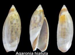 Agaronia Hiatula - Seashells & Snail-shells