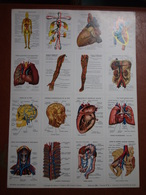Planche éducative Volumétrix - N°56 - Anatomie (la Circulation Du Sang) - Learning Cards