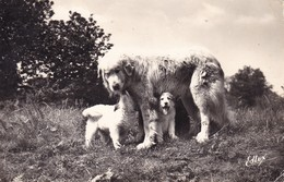 Cpa. Chien Des Pyrenees. Chiens, Dog Cane, Hunde. Old Dog Postcard  1959 - Chiens