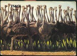 RA882 QSL RANDBURG , SOUTH AFRICA OSTRICHES - Carte QSL