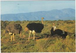 Little Karoo: OSTRICHES / VOLSTRUISE / STRUISVOGEL - (South Africa) - Zuid-Afrika
