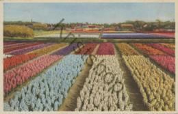 Bloembollenveld-Hyacinten [C720) - Nederland