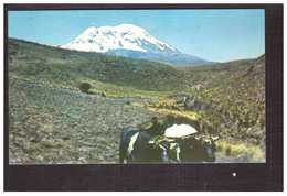 Equateur Ecuador El Chimborazo Boeuf Boeufs Carte Ecrite En 1970 - Equateur