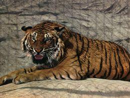 CARTE POSTALE DE ROMANECHE-THORINS - TIGRE DE SUMATRA - PARC ZOOLOGIQUE DES CONDEMINALS - Tigres