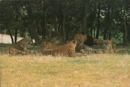 CARTE POSTALE - SAFARI PARC - PEAUGRES - ARDECHE - LIONS - Lions