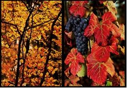 2 X Herbst : Herbstliches Weinlaub Mit Blauer Traube  -  Herbstlaub  -  DJH Ansichtskarten Ca. 1982   (9114) - Botanik