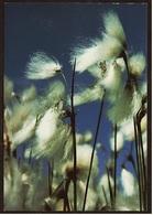 Breitblättriges Wollgras  -  DJH Deutsche Jugendherberge Ansichtskarte Ca. 1990   (9102) - Botanik