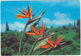 The Crane Flower - (Strelitzia Reginae) - Flora - (South Africa) - Zuid-Afrika