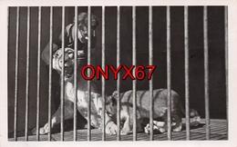 Carte Postale Photo LIONNE Et Son Petit (Animaux-Félin) En Cage ZOO ? CIRQUE ?  PHOTO 1 - Lions